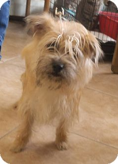 Cairn Terrier Mix Dog for adoption in Middletown, New York - Kadee