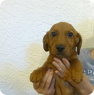 Dachshund Mix Puppy for adoption in Oviedo, Florida - Danny