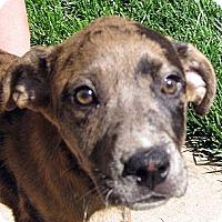 Adopt A Pet :: Baby Ike - Oakley, CA