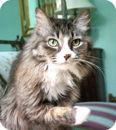 Maine Coon Cat for adoption in Charlotte, North Carolina - Seraphina