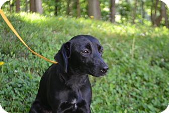Labrador Retriever Mix Dog for adoption in Edwardsville, Illinois - Maybell