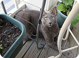Domestic Shorthair Cat for adoption in Gaithersburg, Maryland - T-Bird