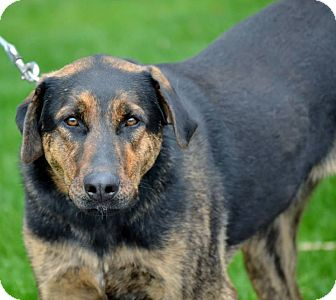German Shepherd Dog Mix Dog for adoption in Michigan City, Indiana - Aggie