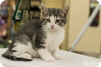 Domestic Shorthair Kitten for adoption in Charlotte, North Carolina - A..  Tabitha