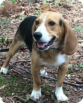 Beagle Mix Dog for adoption in Windham, New Hampshire - Braxton