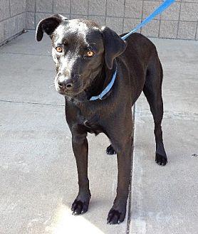 Labrador Retriever Mix Dog for adoption in Grand Prairie, Texas - Dinky