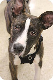 Bull Terrier Mix Dog for adoption in Wichita Falls, Texas - Sasha