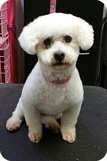 Bichon Frise/Poodle (Miniature) Mix Dog for adoption in Henderson, Nevada - Simon