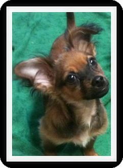 Dachshund/Chihuahua Mix Puppy for adoption in Winchester, California - CHARLIE