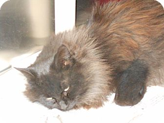 Domestic Longhair Cat for adoption in Olney, Illinois - Patrick