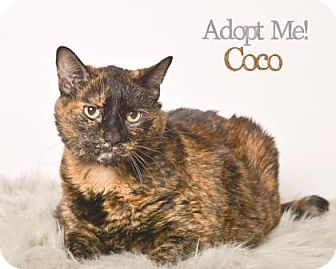 Domestic Shorthair Cat for adoption in West Des Moines, Iowa - Coco