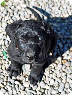 Labrador Retriever Mix Puppy for adoption in Pleasant Plain, Ohio - Emmet *AVAILABLE 4/13/16*