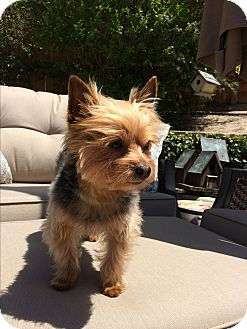 Yorkie, Yorkshire Terrier Dog for adoption in Los Angeles, California - Aiko