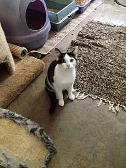 Domestic Shorthair Cat for adoption in Ashland, Ohio - Cupid