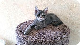 Domestic Shorthair Kitten for adoption in Upland, California - Ben