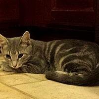 Adopt A Pet :: Simba - Berkeley Hts, NJ