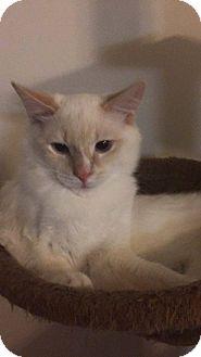 Turkish Angora Cat for adoption in Golsboro, North Carolina - HERSHEY