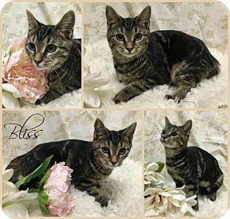 Domestic Shorthair Cat for adoption in Joliet, Illinois - Bliss