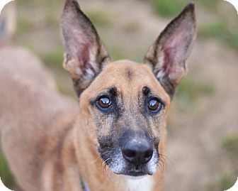 German Shepherd Dog Mix Dog for adoption in Philadelphia, Pennsylvania - KING!