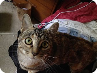 American Shorthair Cat for adoption in Orinda, California - Rhianna