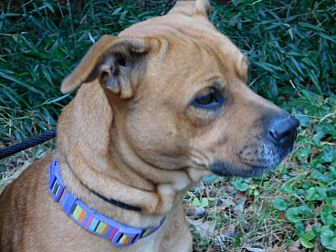 Boxer/Shepherd (Unknown Type) Mix Dog for adoption in Millerstown, Pennsylvania - NOODLES ANN COMPANY