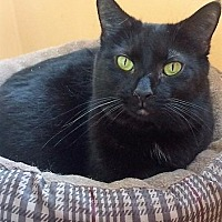 Domestic Shorthair Cat for adoption in Port Clinton, Ohio - Lucy