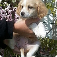 Adopt A Pet :: Uno - Santa Barbara, CA