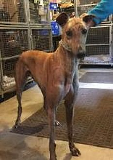 Greyhound Dog for adoption in Gerrardstown, West Virginia - RLM's Kingston