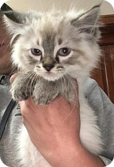 Himalayan Kitten for adoption in Cashiers, North Carolina - Alastor
