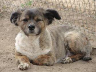 Sheltie, Shetland Sheepdog Mix Dog for adoption in Fresno, California - Fluffy Benton