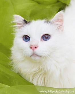 Domestic Longhair/Domestic Shorthair Mix Cat for adoption in Corvallis, Oregon - Kitty