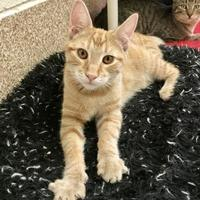 Adopt A Pet :: Henry - Sonoma, CA