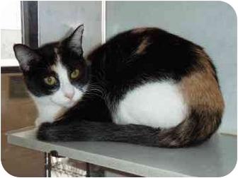 Domestic Shorthair Cat for adoption in Walker, Michigan - Stella