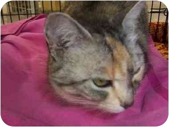 Domestic Shorthair Cat for adoption in San Diego/North County, California - Justine