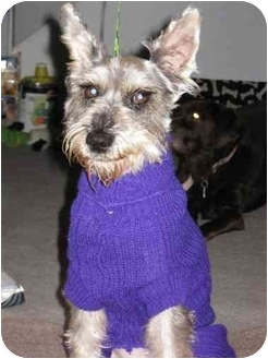 Schnauzer (Miniature) Dog for adoption in Riverside, California - Grommit
