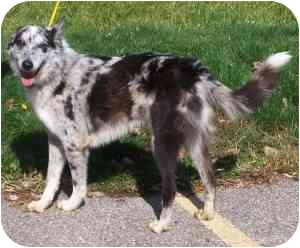 Collie Mix Dog for adoption in Avon, New York - Reese