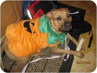 Pit Bull Terrier/Rhodesian Ridgeback Mix Dog for adoption in Los Angeles, California - Harlie Quinn