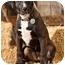 Photo 1 - Labrador Retriever/Pointer Mix Puppy for adoption in Portland, Oregon - Sable
