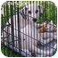 Photo 2 - Dalmatian Puppy for adoption in Mandeville Canyon, California - Remington