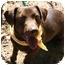 Photo 1 - Dachshund/Labrador Retriever Mix Dog for adoption in Hendersonville, Tennessee - Downie