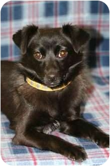 Schipperke/Chihuahua Mix Dog for adoption in Westminster, Colorado - HEATHER