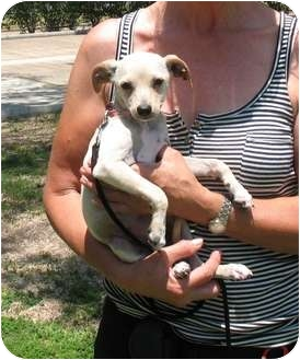 Chihuahua/Italian Greyhound Mix Dog for adoption in Kingwood, Texas - Lily