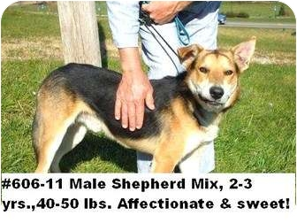 Shepherd (Unknown Type) Mix Dog for adoption in Zanesville, Ohio - # 606-11 @ Animal Shelter