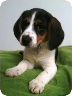 Beagle Puppy for adoption in Lancaster, Kentucky - Hannah