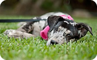 Catahoula Leopard Dog Mix Puppy for adoption in Portsmouth, Rhode Island - Odile