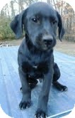 Labrador Retriever Mix Puppy for adoption in Westerly, Rhode Island - Sonny