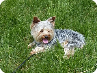 Yorkie, Yorkshire Terrier Dog for adoption in Sinking Spring, Pennsylvania - Champ