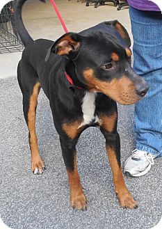 Rottweiler Mix Dog for adoption in Sumter, South Carolina - KENNEL #40