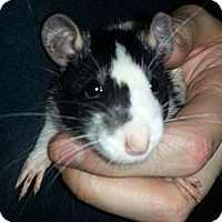 Adopt A Pet :: Broken Blaze - Lakewood, WA