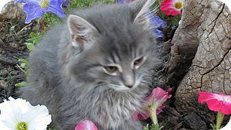 Domestic Mediumhair Kitten for adoption in Clearfield, Utah - Brooks
